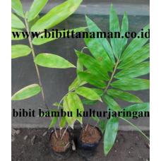 bibit-bambu-tali